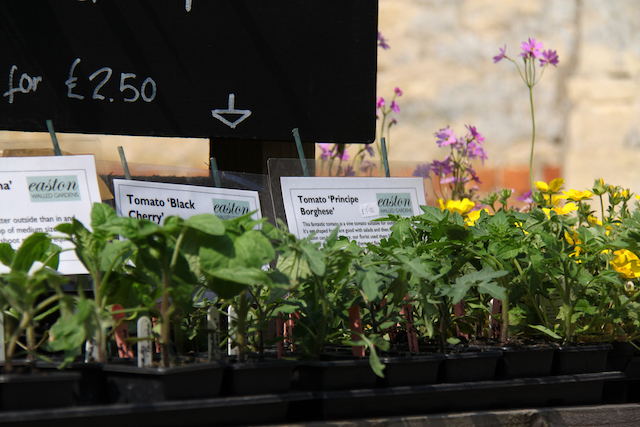 tomato plants for sale at Easton Walled Gardens