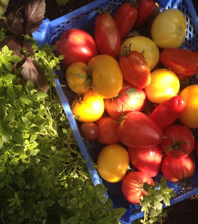 tomatoes harvested at Easton Walled Gardens
