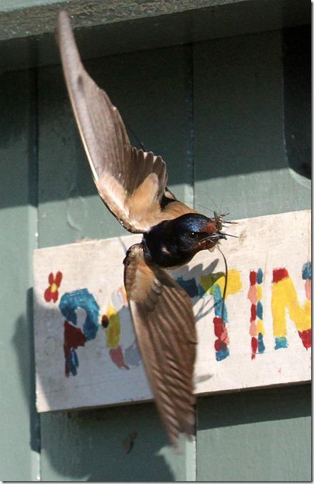 Swallows June 2010 (26)