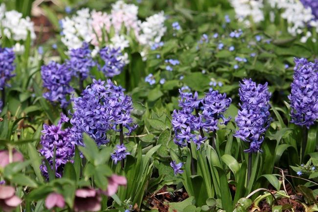 Blue hyacinth (2)