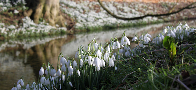 snowdrops with water at Easton Walled Gardens