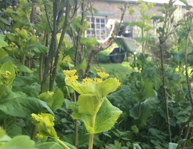 Smyrnium perfoliatum at Easton Walled Gardens IMG_0897