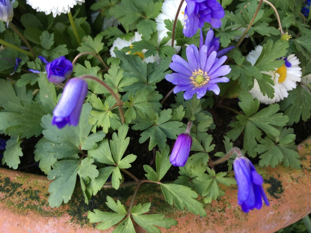 Anemone blanda IMG_0882