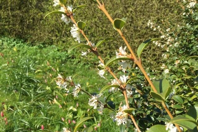Osmanthus burkwoodii IMG_0885