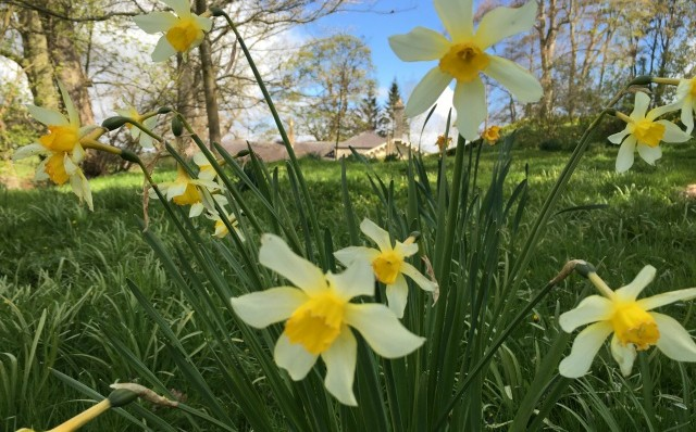 Narcissus barrii cv at Easton Walled Gardens IMG_0892