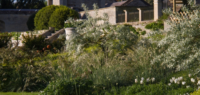 EWG 28.5.15.-5 Tulip Diana flowering in the white space garden at Easton Walled Gardens
