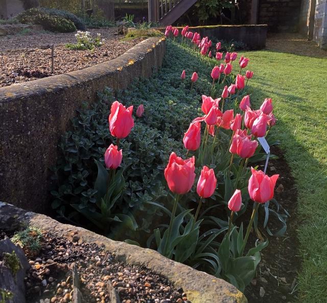 IMG_0754 Tulipa Albert Heijn with Nepeta at Easton Walled Gardens