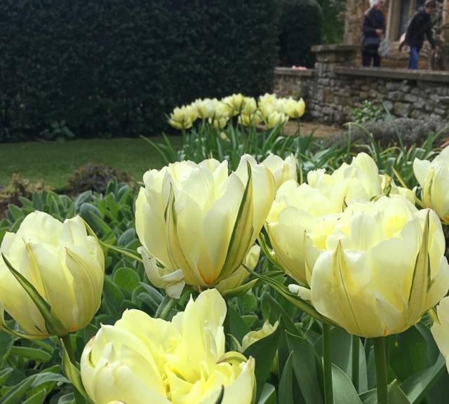 IMG_0849 Tulipa Exotic Emperor