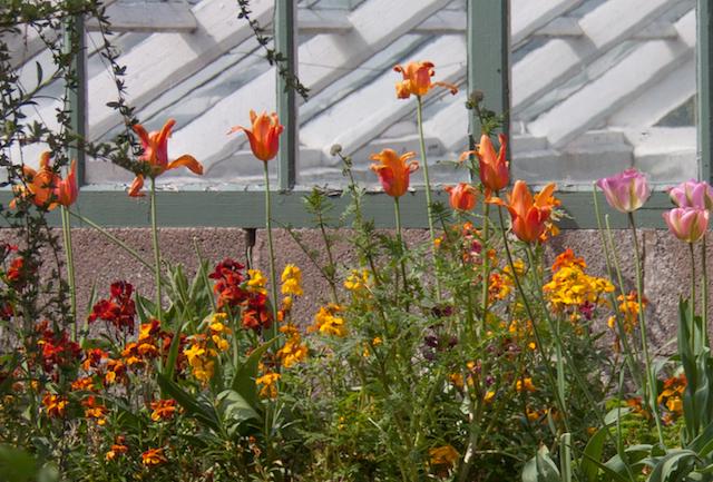 EWG 4.5.14.-12 tulip ballerina and wallflowers at Easton Walled Gardens