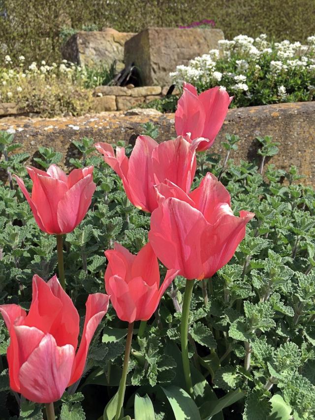 Tulipa Aibert Heijn and Nepeta at Easton Walled Gardens
