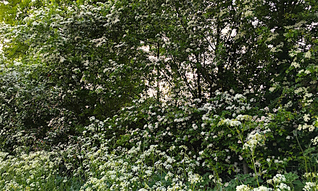 IMG_1214 hawthorn and cow parsley 640
