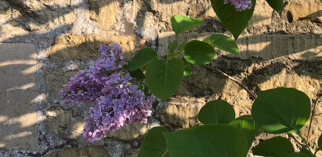 IMG_1220 double lilac 640