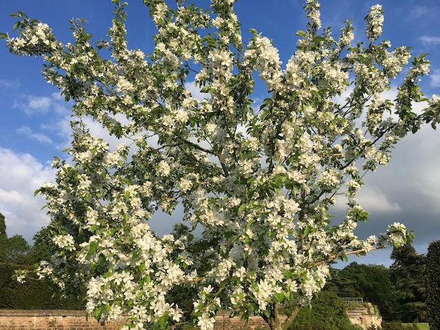 IMG_1240 crabapple blossom 640