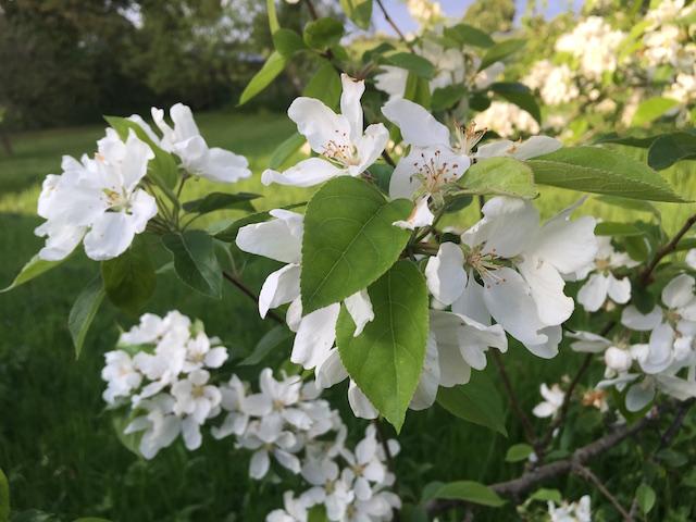 IMG_1255 crabapple blossom 640