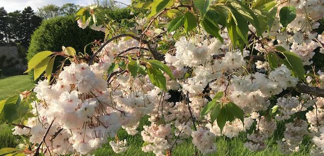 cherry shogetsu blossom 640
