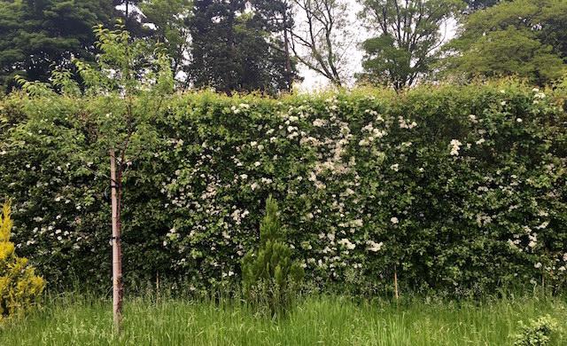 hawthorn hedge 640