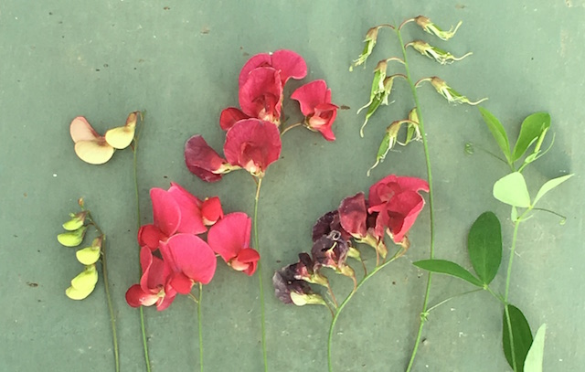 Lathyrus rotundifolius or persian everlasting pea flowering stages copyright Easton Walled Gardens