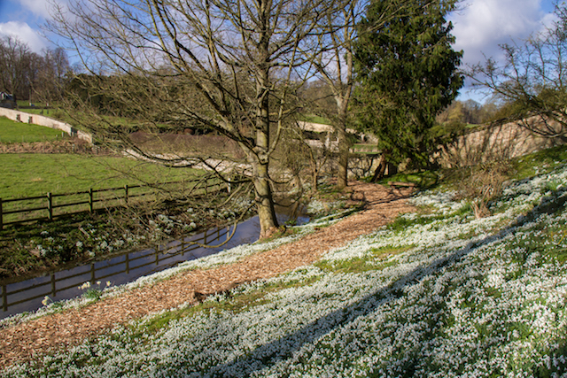 Easton Walled Gardens-10-2-16-25-snowdrop-bank