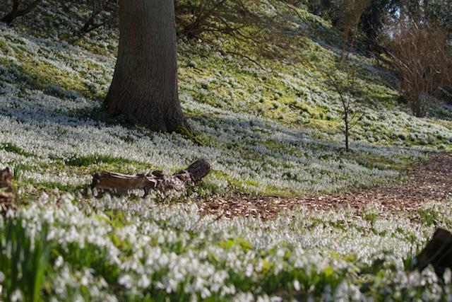 Easton Walled Gardens-10-2-16-43-snowdrop-bank