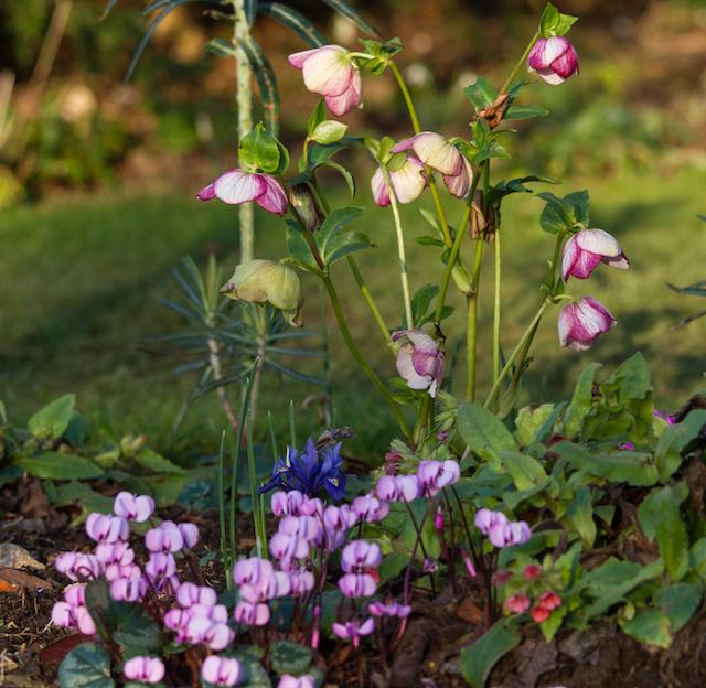 easton walled gardens-14-2-16-1-hellebores-cyclamen-and-iris