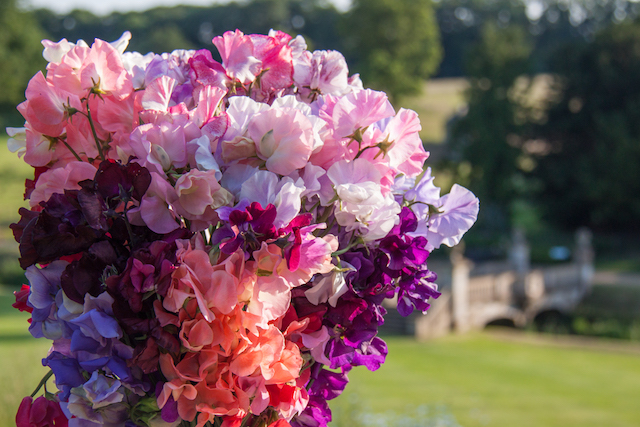 EWG 1.7.14.-40 Sweet Pea heaven at Easton Walled Gardens