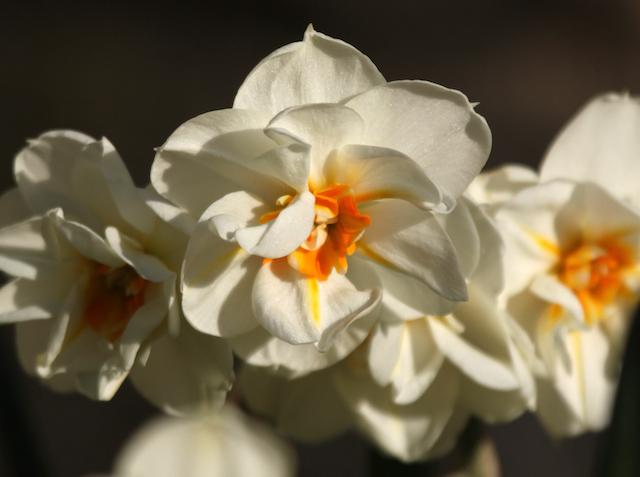 Narcissus 'Sir Winston Churhchill' flourishes in short grass