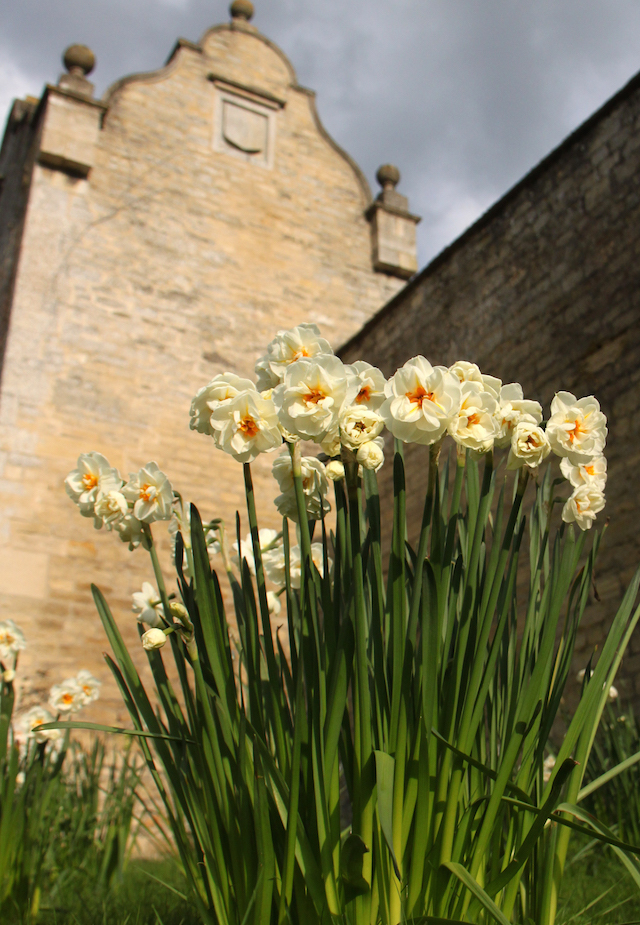 Narcissus 'Sir Winston Churchill' in the courtyard