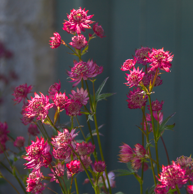 Astrantia in the Cottage Garden at Easton Walled Gardens