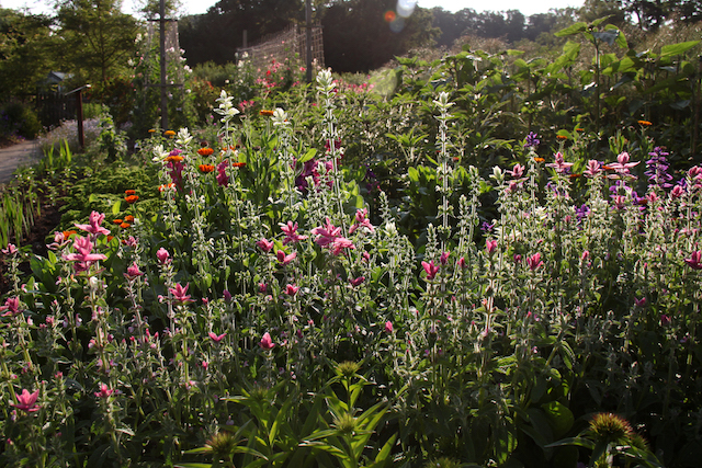 Salvia horminum or Clary Sage in the pickery at Easton Walled Gardens