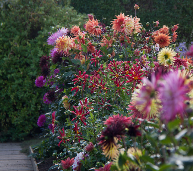 Dahlias in the Pickery