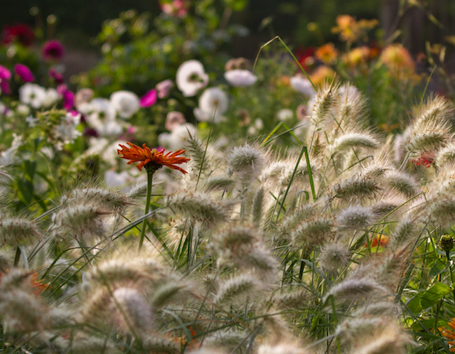 Pennisetum bedded with Zinnias has created a fascinating combination that visitors love.