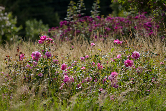 The rose meadow at Easton Walled Gardens