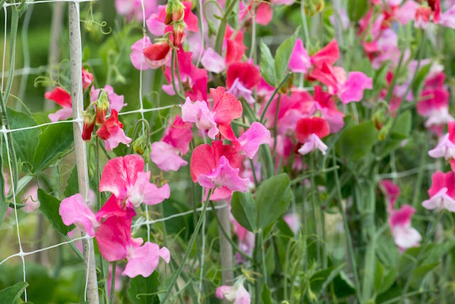 Trained up canes and plastic netting, Lathyrus odoratus 'Duo Salmon', Spencer sweet pea, a climbing annual flowering from June. Photo Credit Nicola Stocken