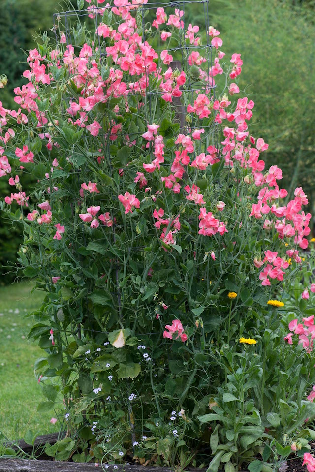 Trained within a wire column, Lathyrus odoratus 'Watermelon', sweet pea, a climbing annual flowering from June in the vegetable garden. Photo Credit: Nicola Stocken