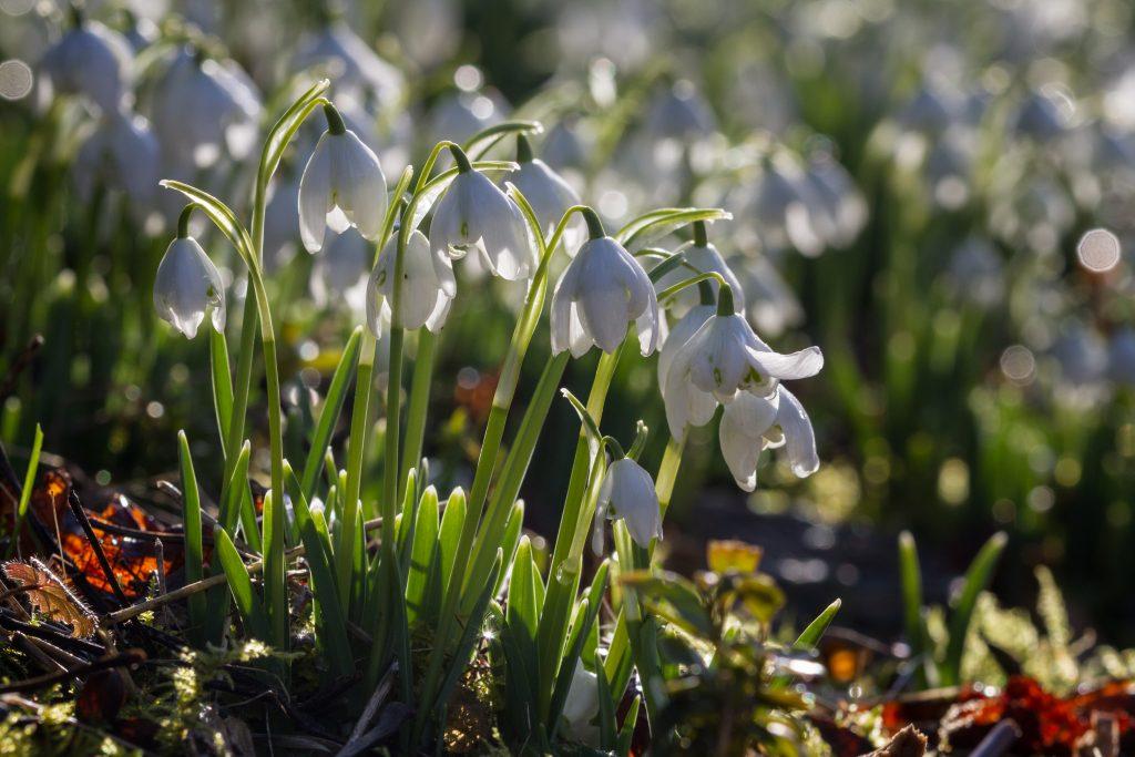 The Double snowdrop Galanthus flore pleno