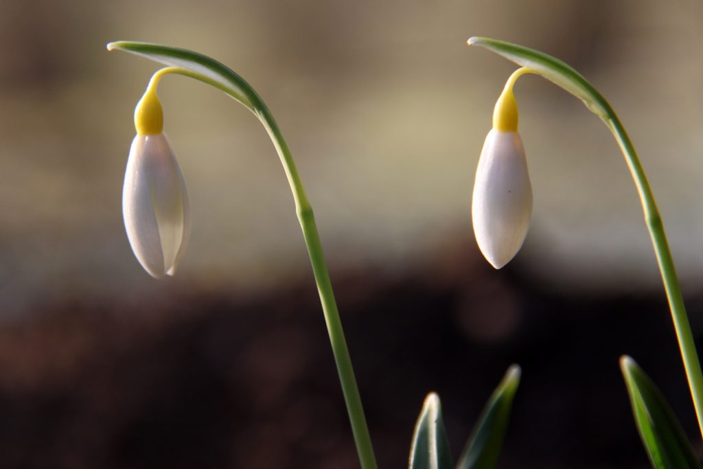 Snowdrop Wendys Gold, one of the best yellow snowdrops